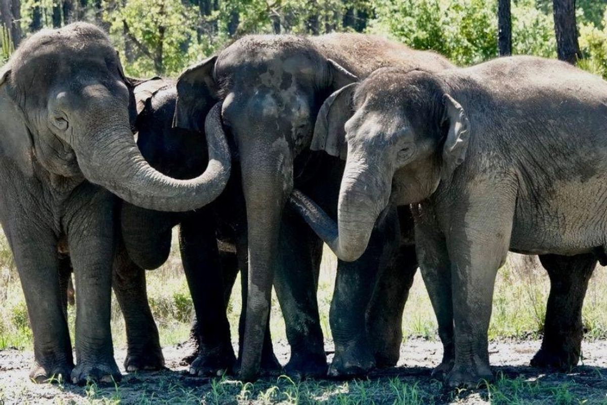 A dozen former circus elephants finally arrive at comfy new life in Florida sanctuary