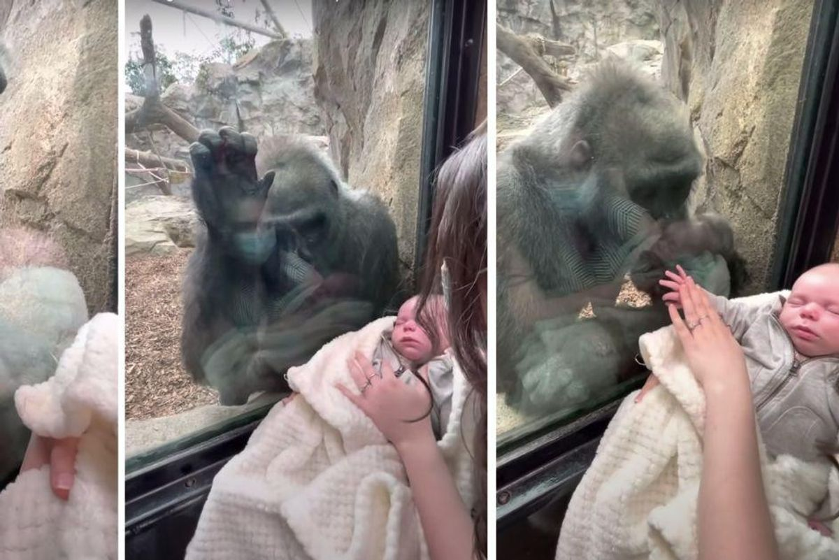 Mom's viral video shows encounter with gorilla who looks enamored with her 5-week-old baby