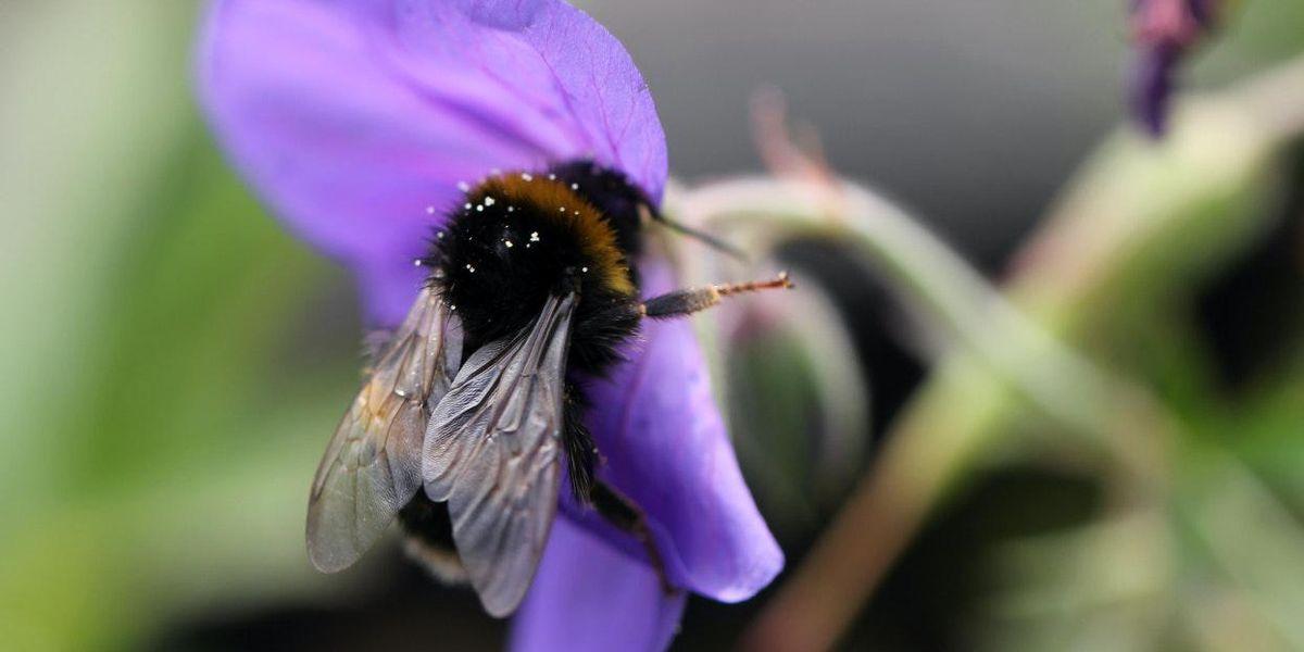 bees pesticides
