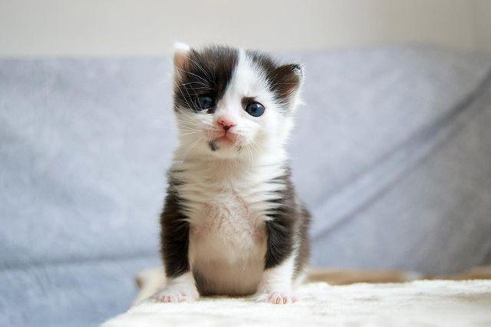 panda, kitten, markings, tuxedo kitten