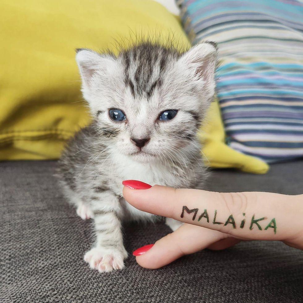 silver tabby, cute kitten