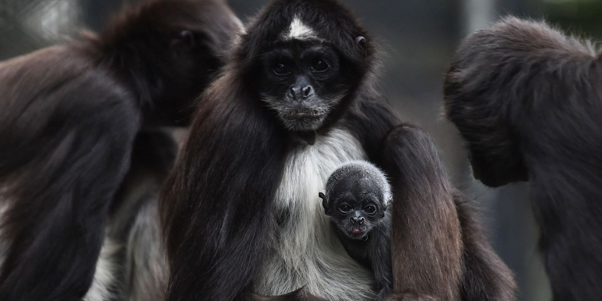 Woman Who Jumped Into Spider Monkey Enclosure Fired From Job