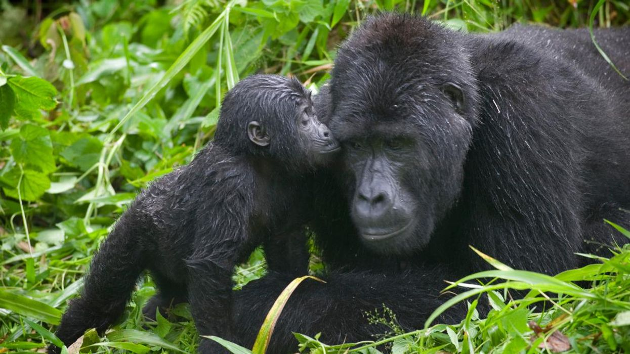 Gorilla Populations Are Increasing in Protected Areas, But New Challenges Emerge