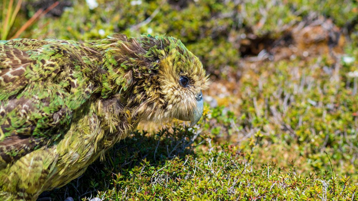 The pursuit for a high quality genome begins with this rare bird