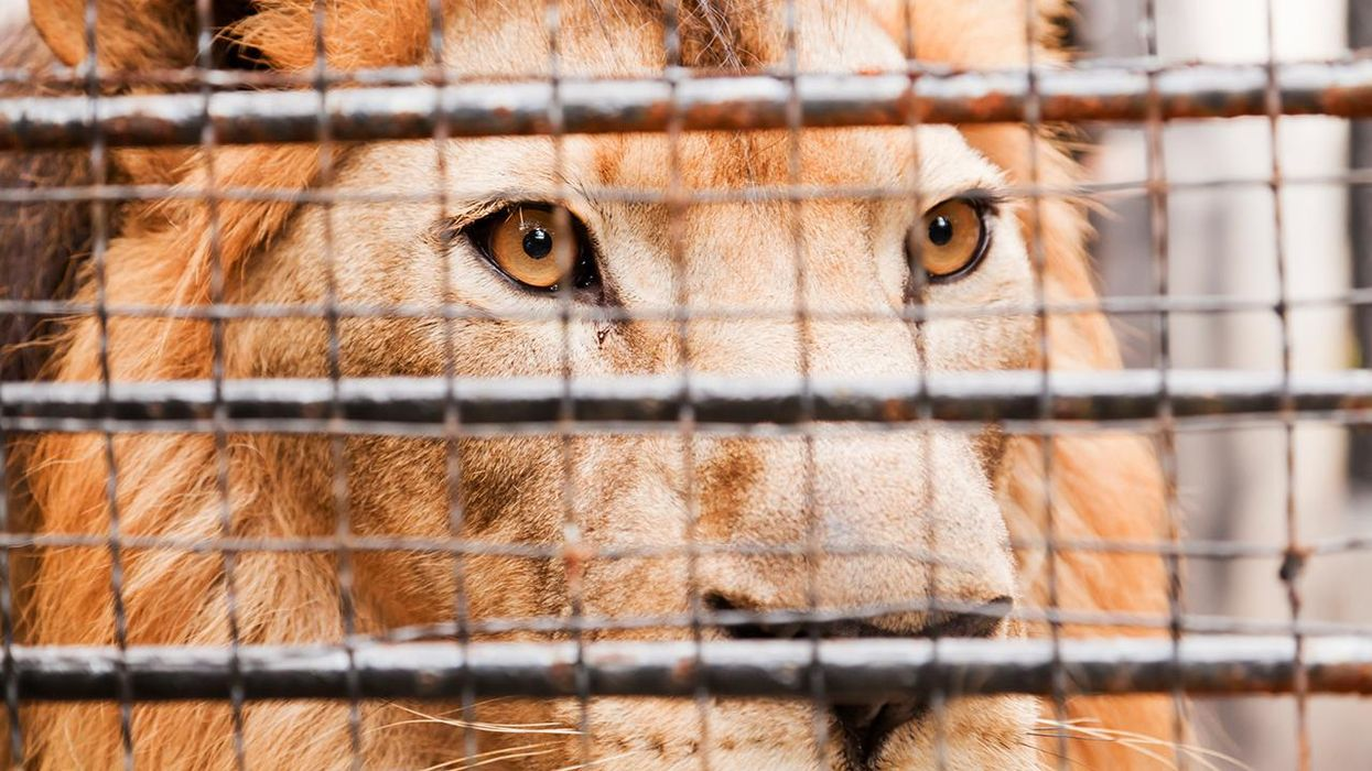 South Africa Announced Plans to End Controversial Captive Lion Breeding Industry