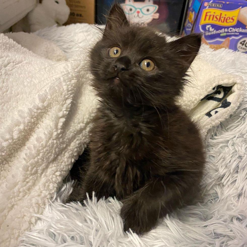 teddy bear kitten, panther kitty