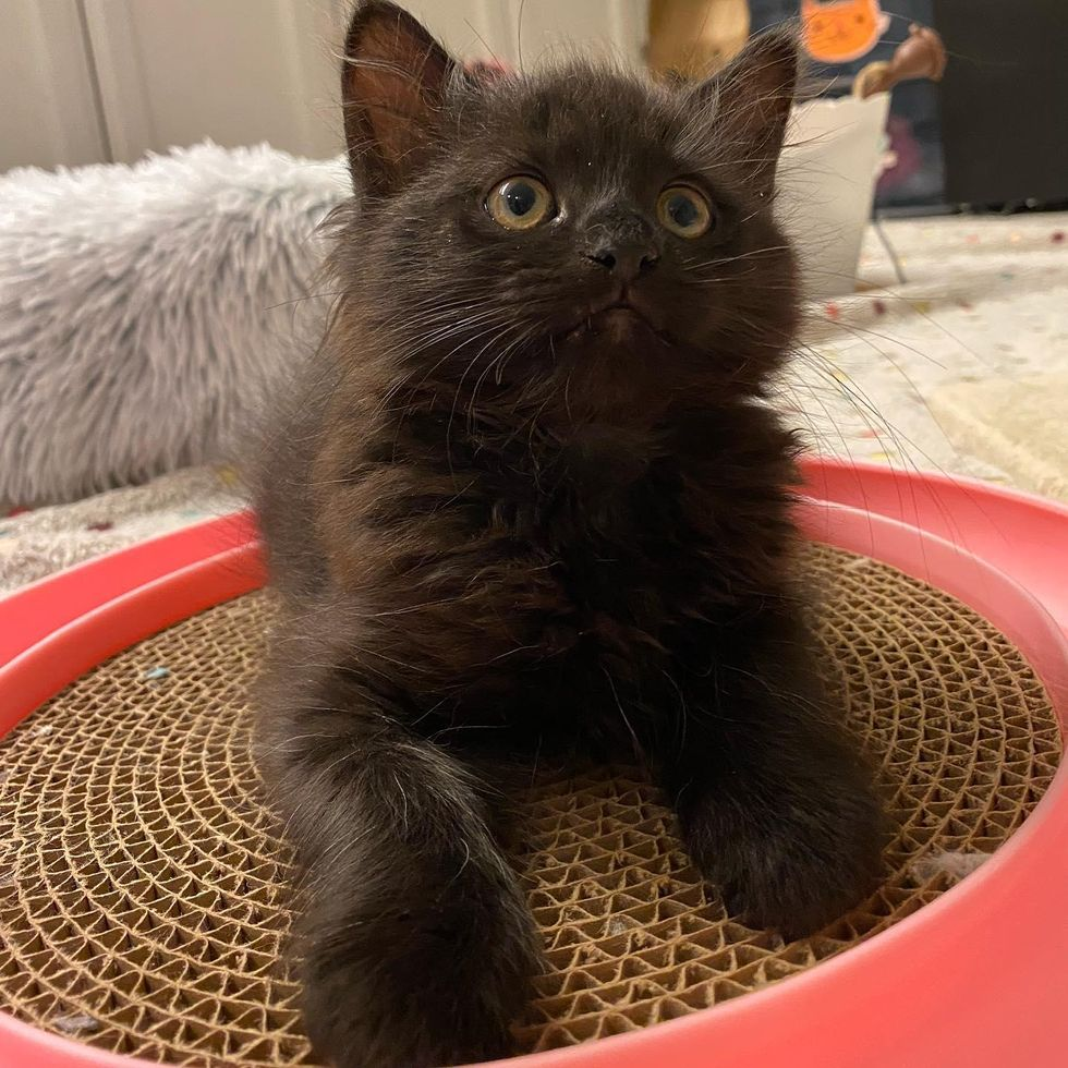 bear kitten, fluffy black kitten