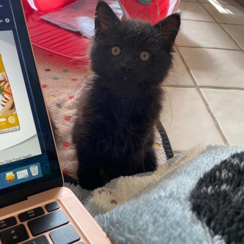 zoom meeting kitten