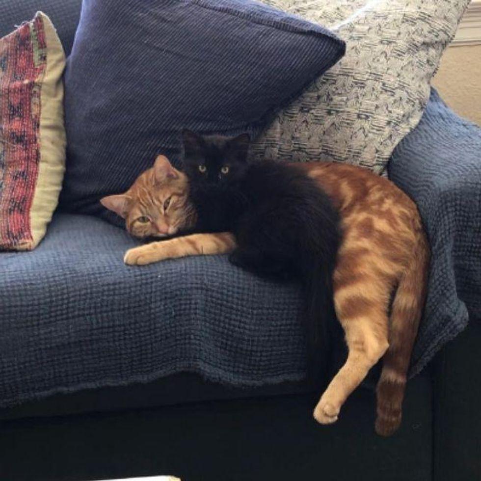 kitten cuddling cat
