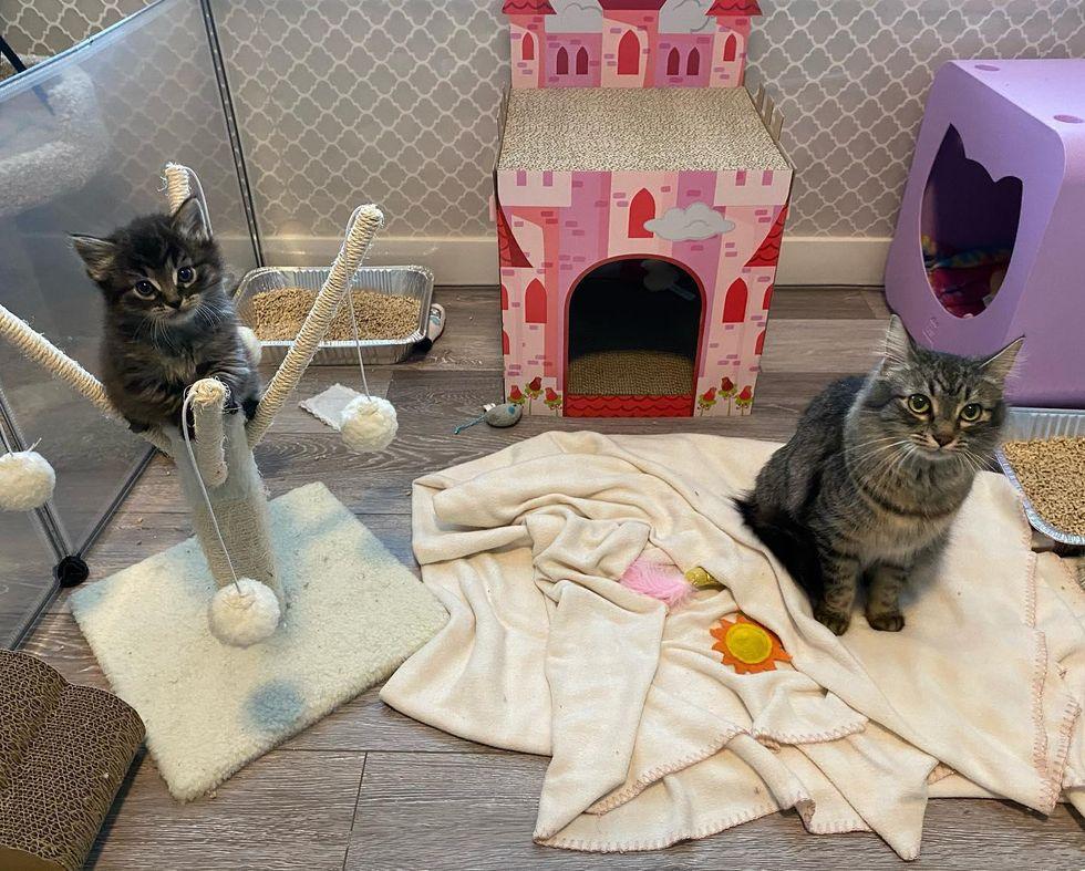 Tabby kittens, mother cats, playpen