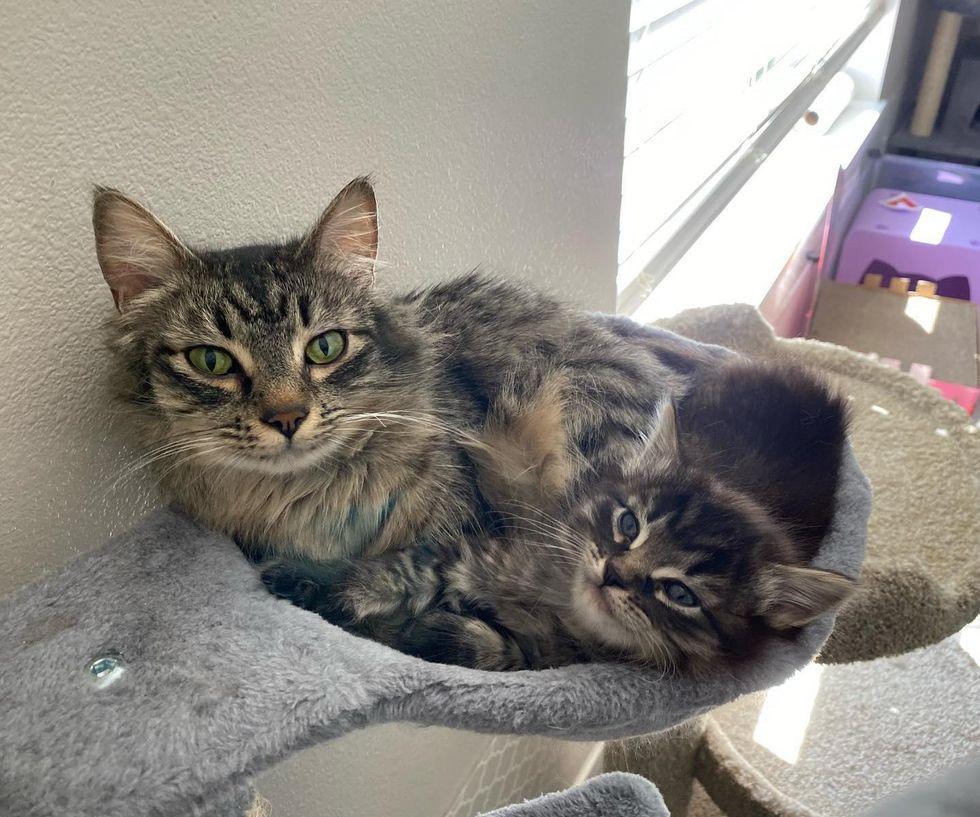 cat mom, tabby, kitten, cuddle