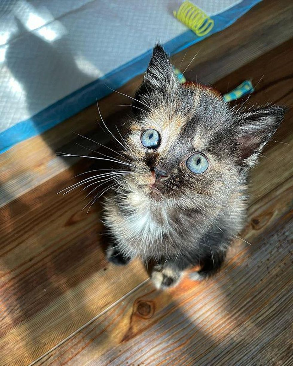 kitten, tortie cat