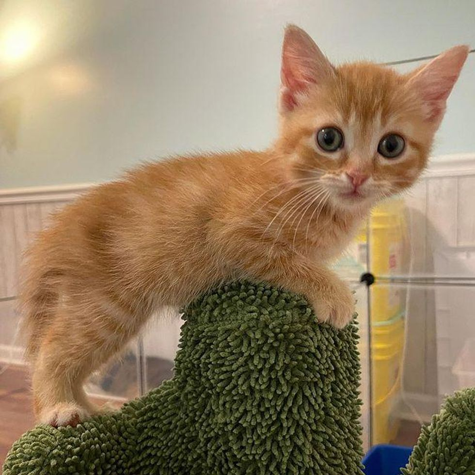orange kitten, tabby