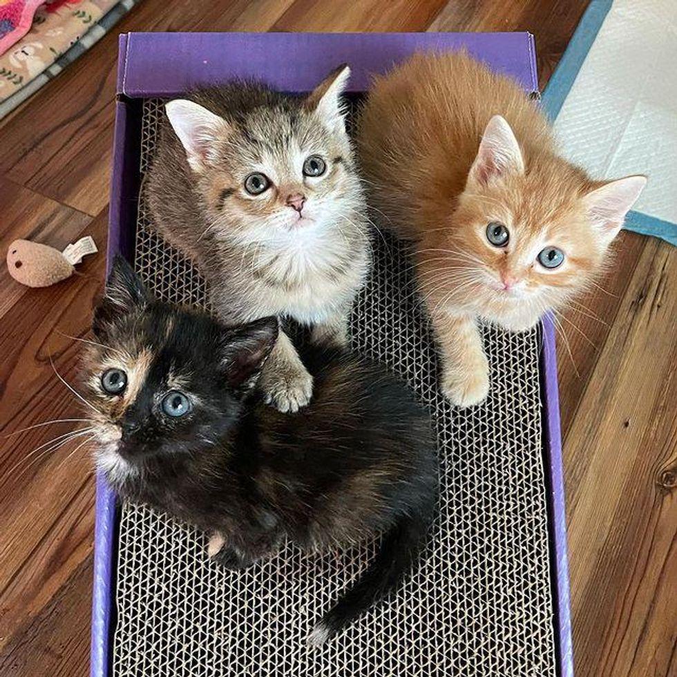 foster kittens, trio