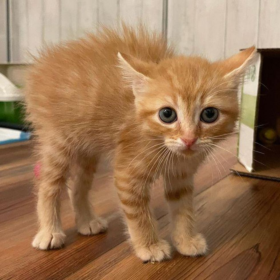 kitten, puffed up