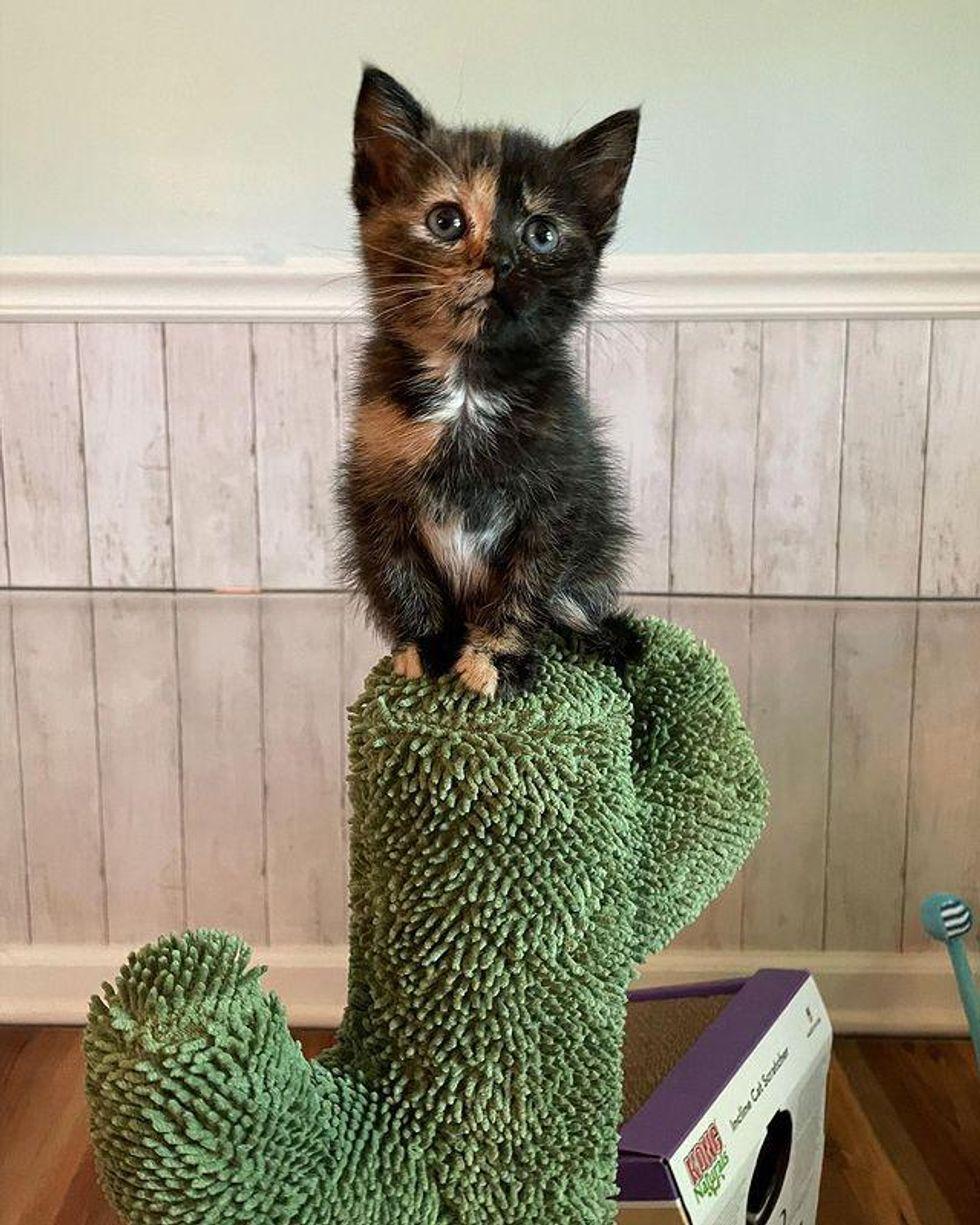 chimera, tortie kitten