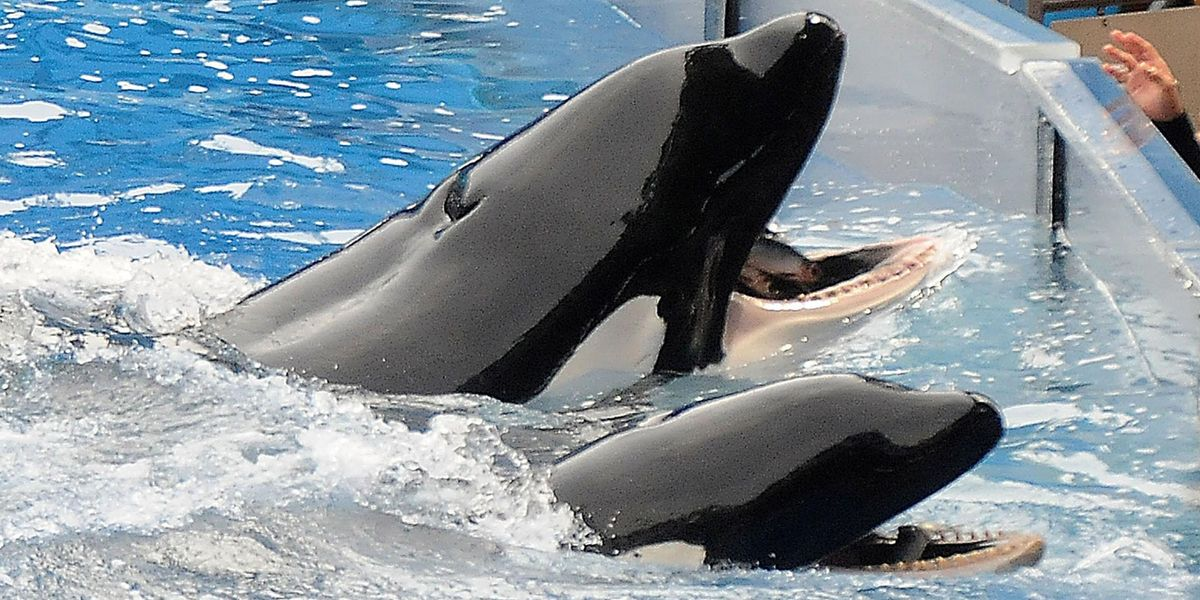 SeaWorld Trainer's Harrowing Last Moments as Whale 'Deep Dived' With Her Body