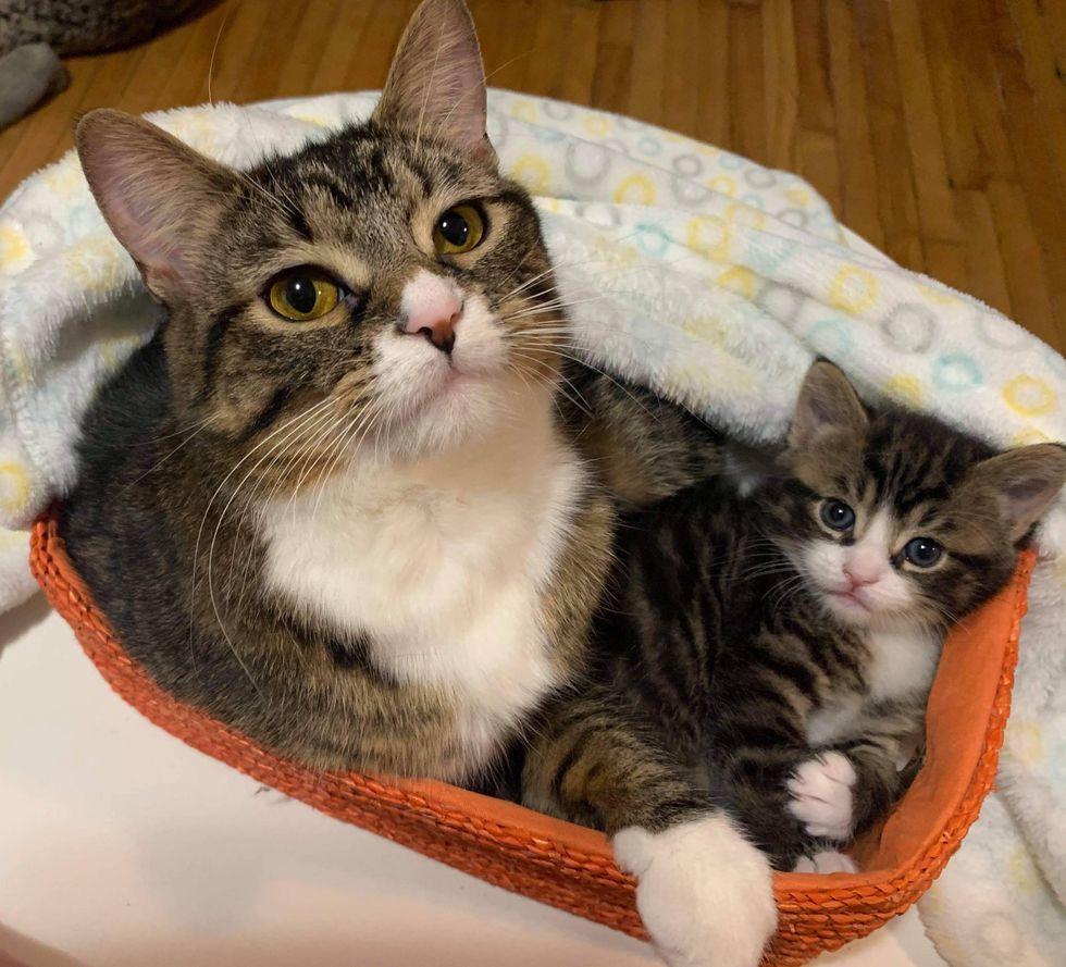 cat mom, tabby kitten, snuggles