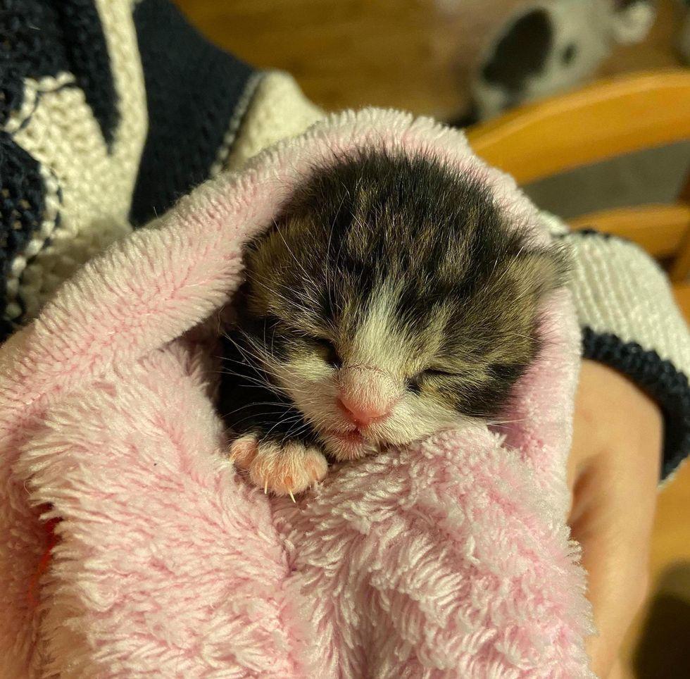 purrito, burrito kitten