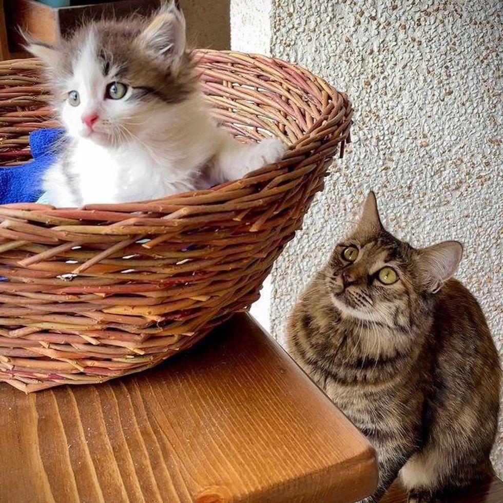 kitten basket, tabby cat