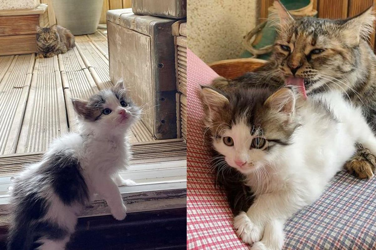 Cat Finds Kitten in Her Home and Tries to Win Her Over and Even Helps Raise Her