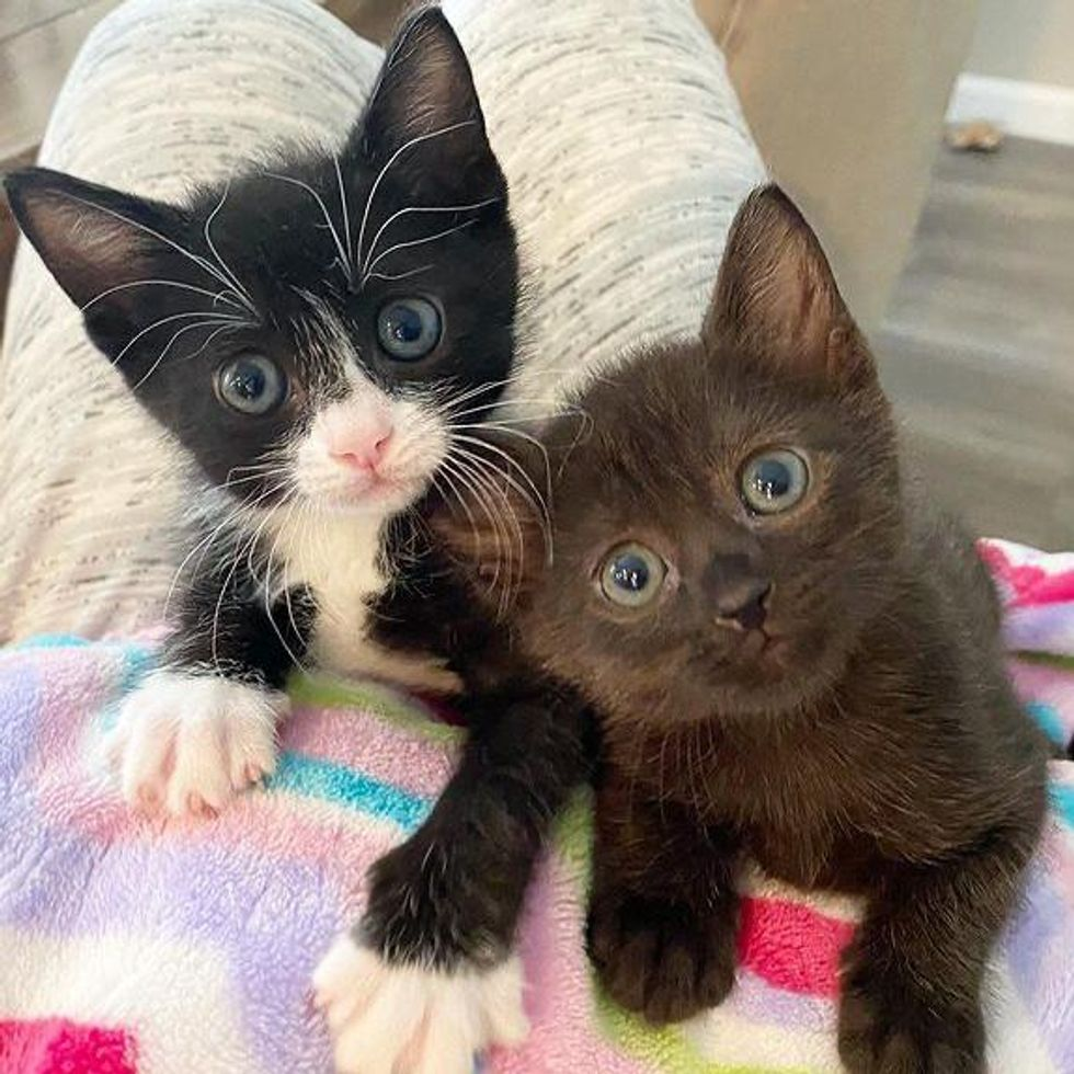 lap cats, tuxedo kitten