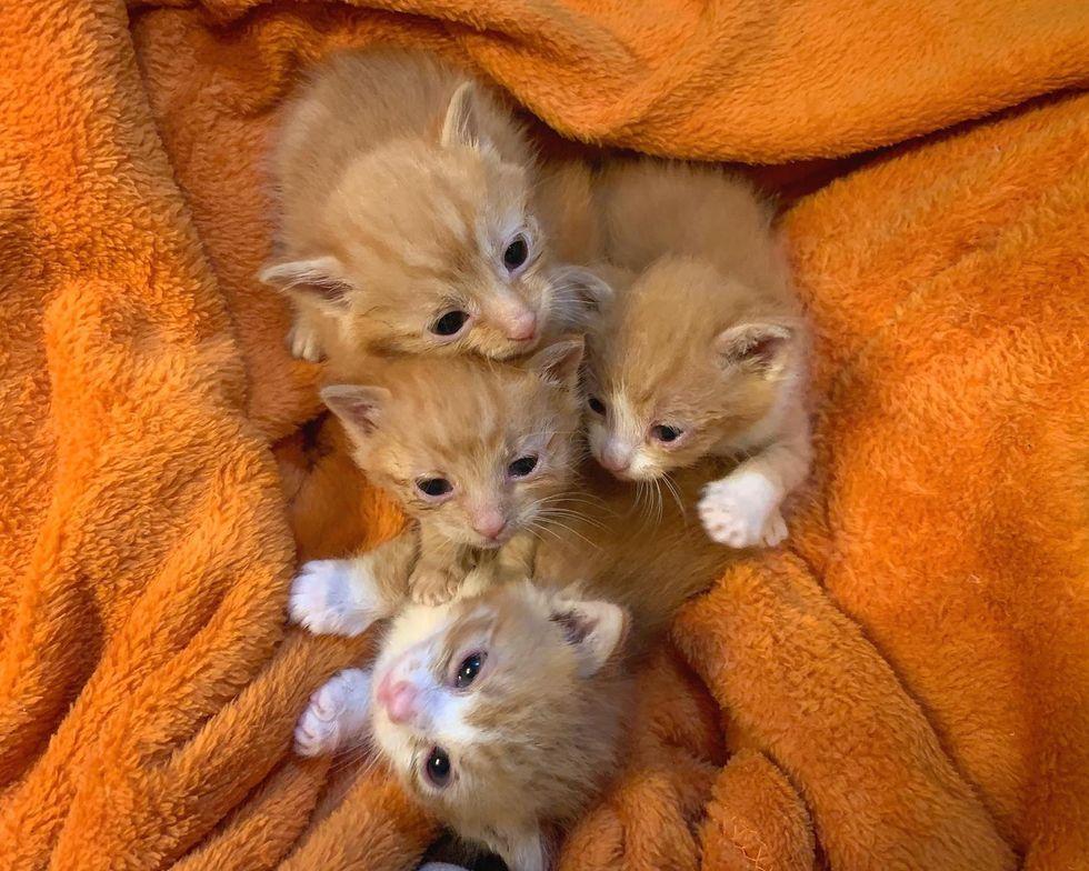 ginger kittens, siblings