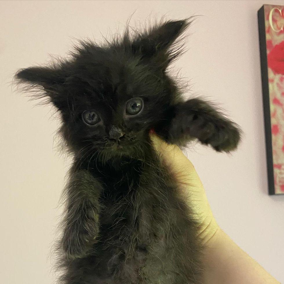 fluffy kitten, yeti the kitten
