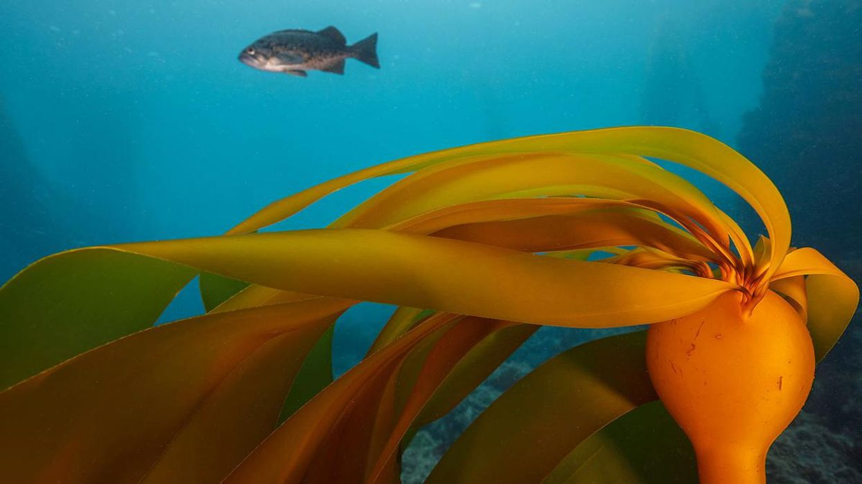 95% of Bull Kelp Forests Have Vanished From 200-Mile Stretch of California Coast