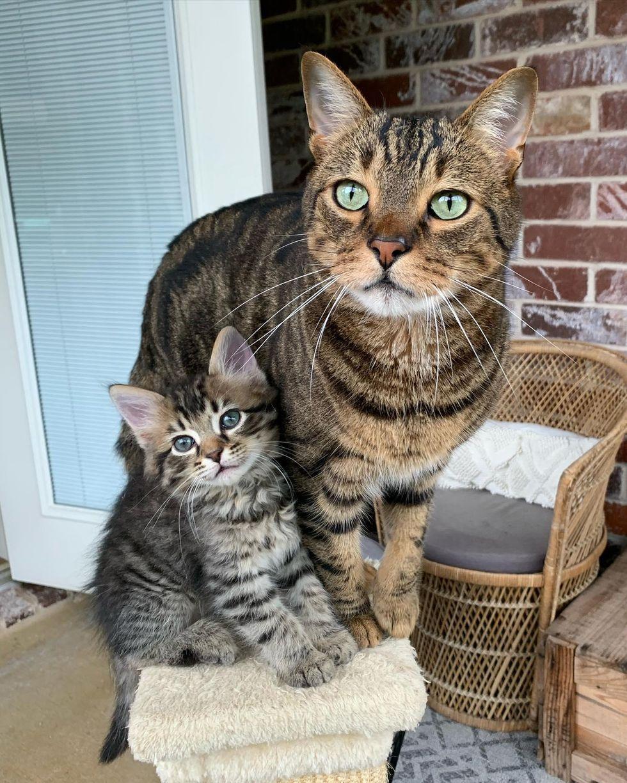 tabby kitten cat, cat buddies