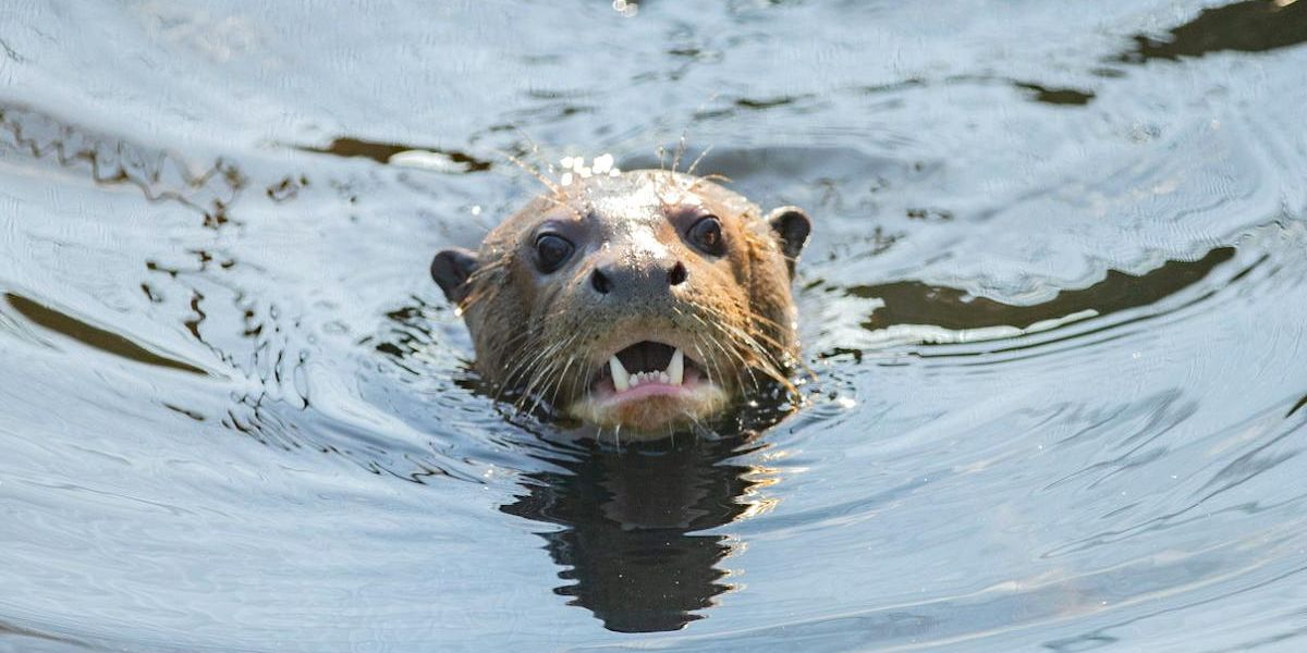 Giant Otter Believed to Be Extinct Resurfaces (Literally) in Argentina