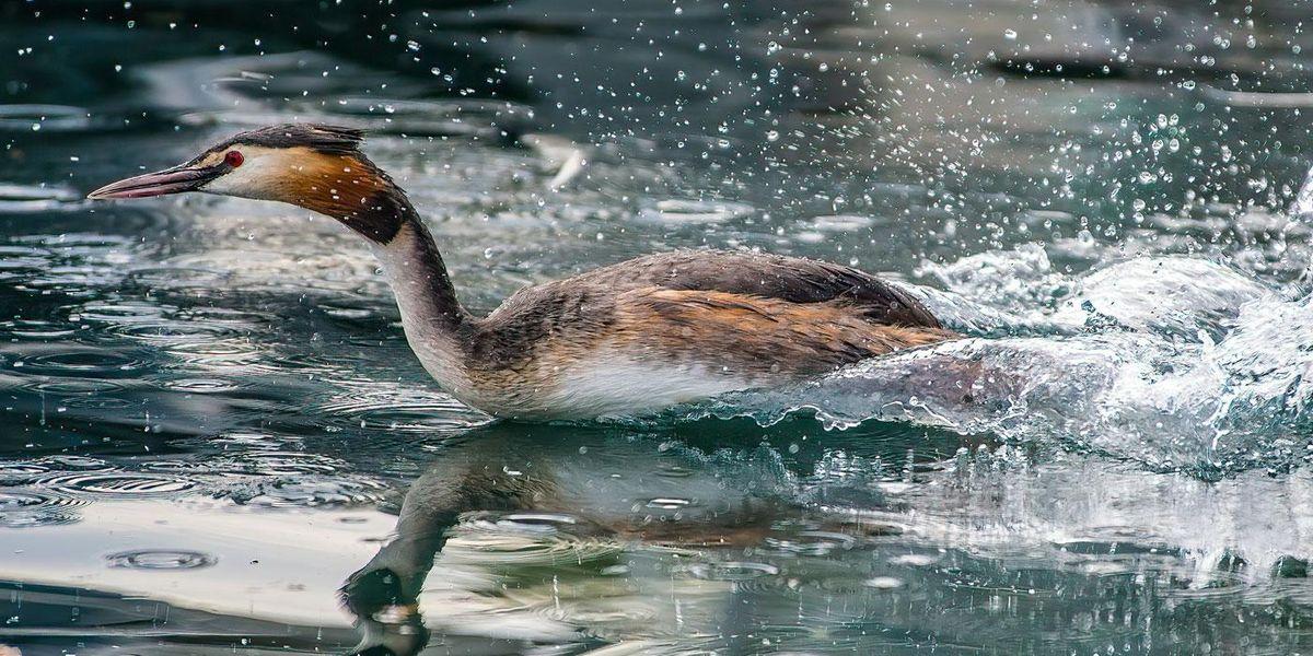 Great Crested Grebe waterway wetlands