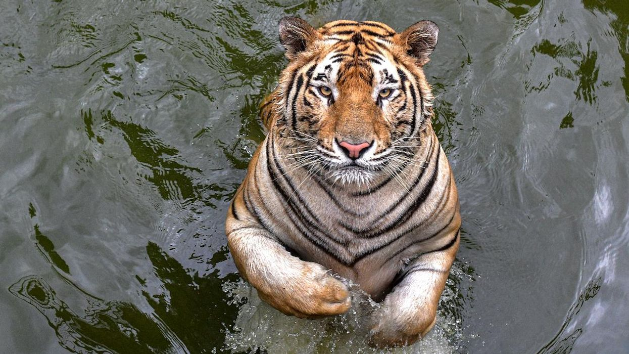 Serial Tiger Poacher Caught in Bangladesh After 20-Year Search