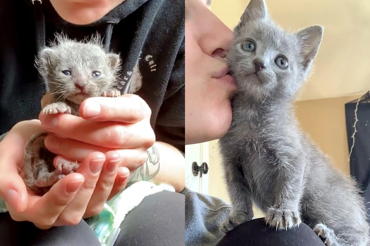 Kitten with Strong Will Transforms from Palm-sized Wonder to Sweetest Shoulder Cat