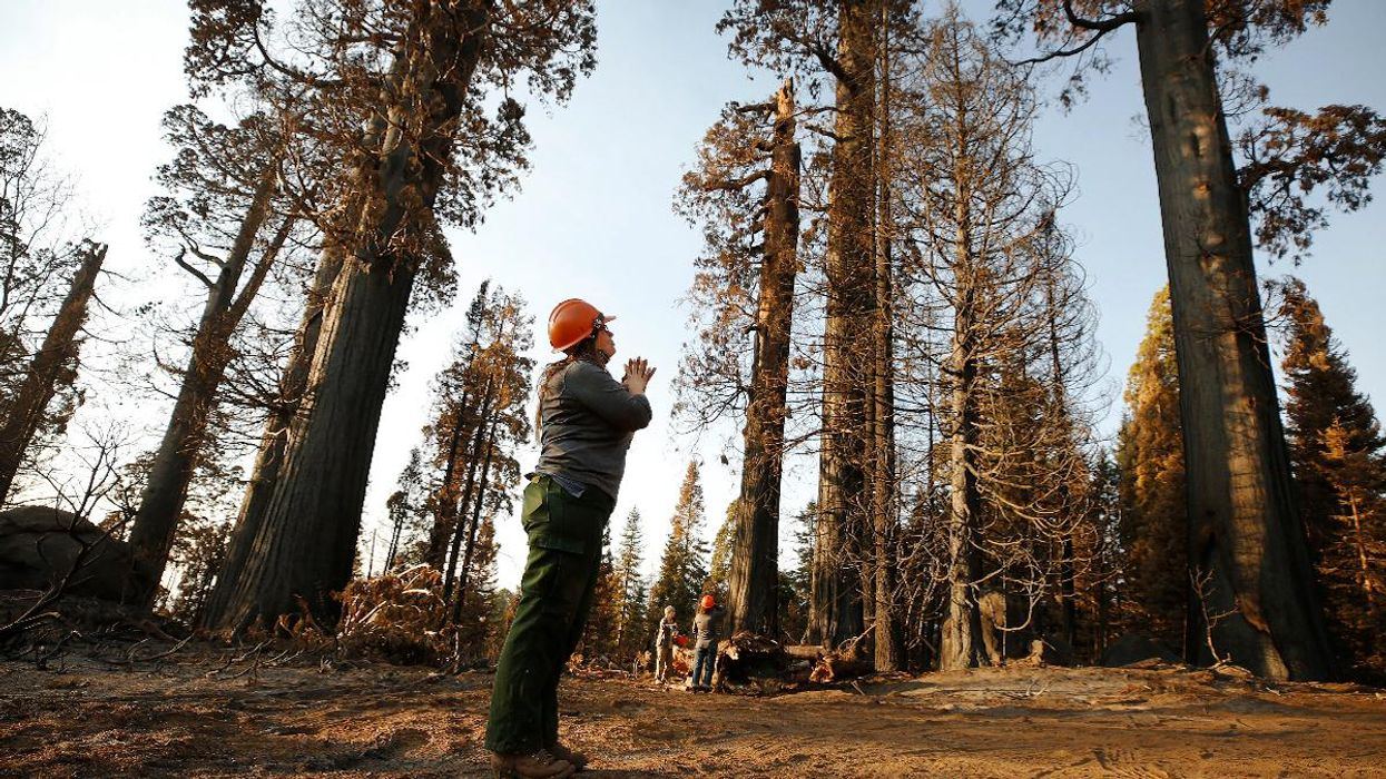 Monarch Sequoias Can Live 3,000 Years, But Earth Lost 10% of Them All in 2020