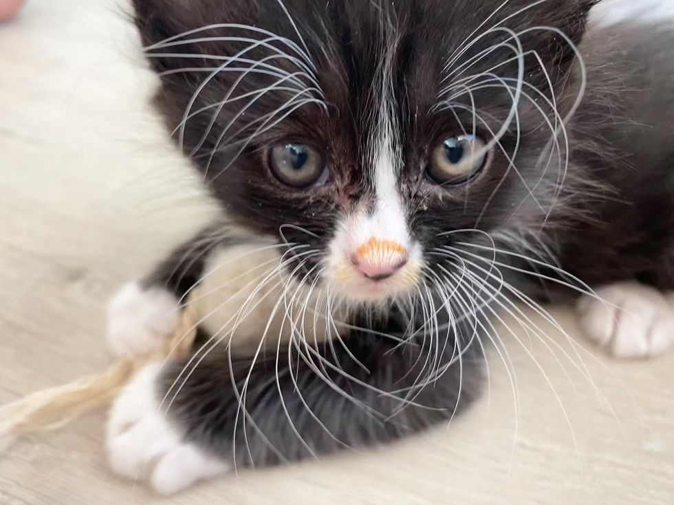 fabulous whiskers, tuxedo kitten