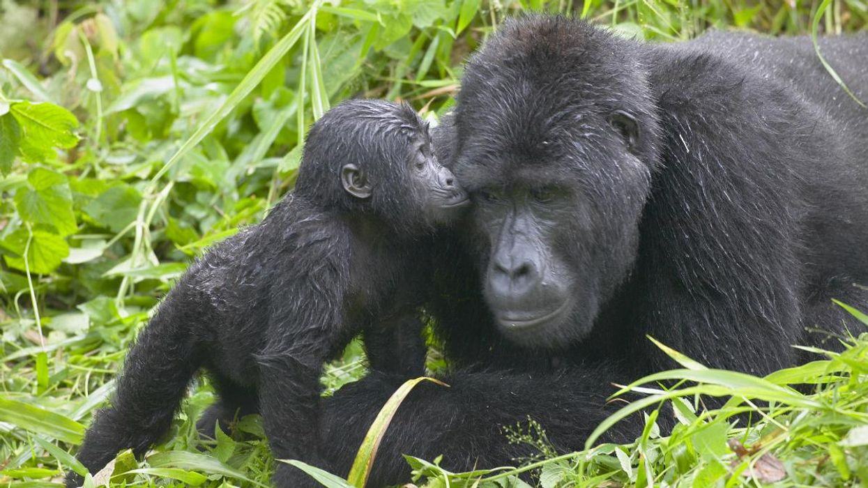 Great Apes Could Lose 94% of African Home Due to Climate Crisis and Other Human Actions, Study Finds