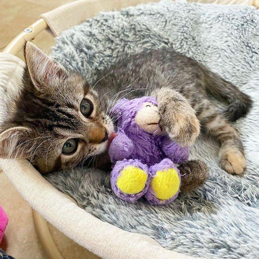 kitten cuddling lamb