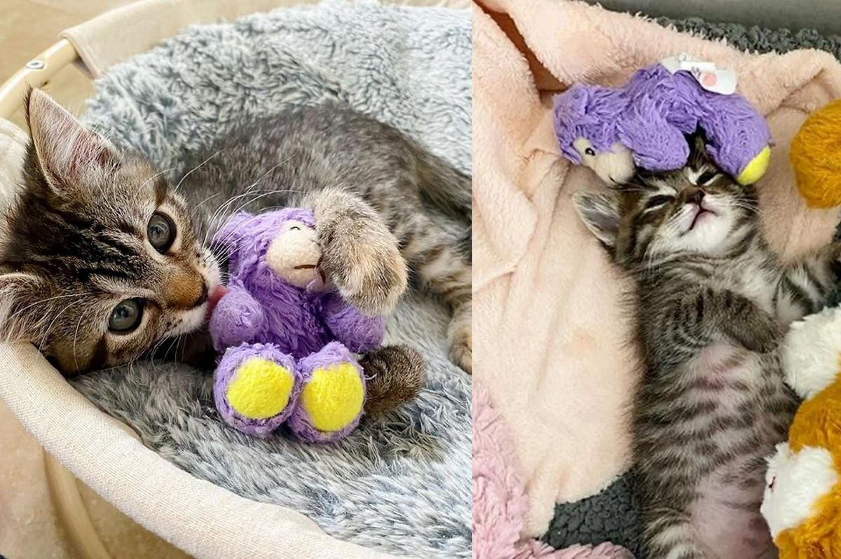 Kitten Carries Her Lamb Wherever She Goes After Being Brought into Foster Alone