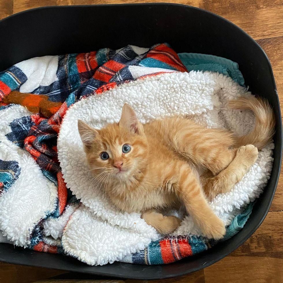 twisted legs, orange tabby kitten