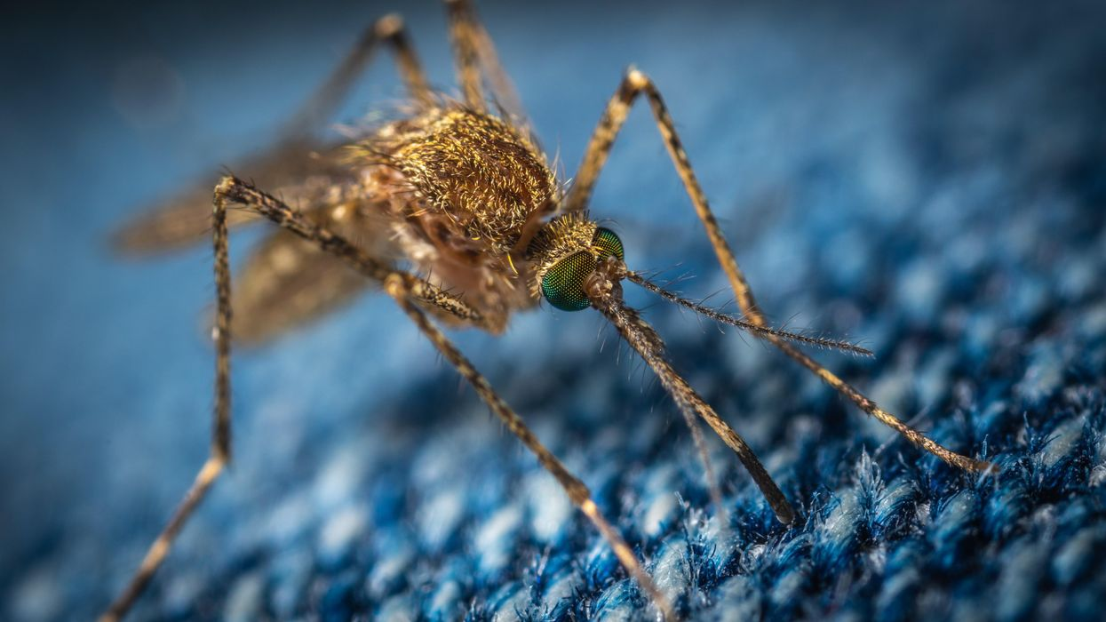 A close up of a mosquito on a blue background