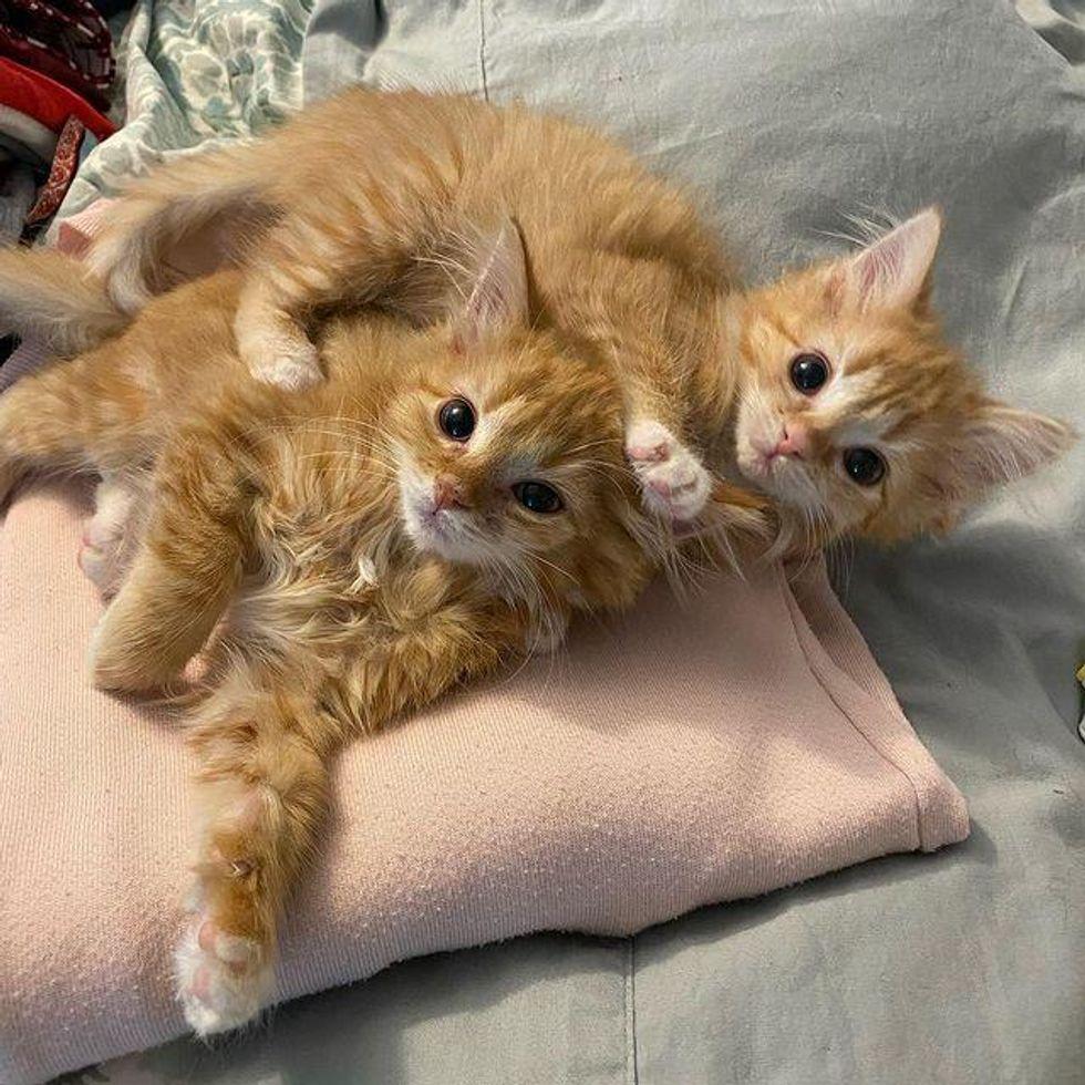 twin kittens, orange tabby kittens