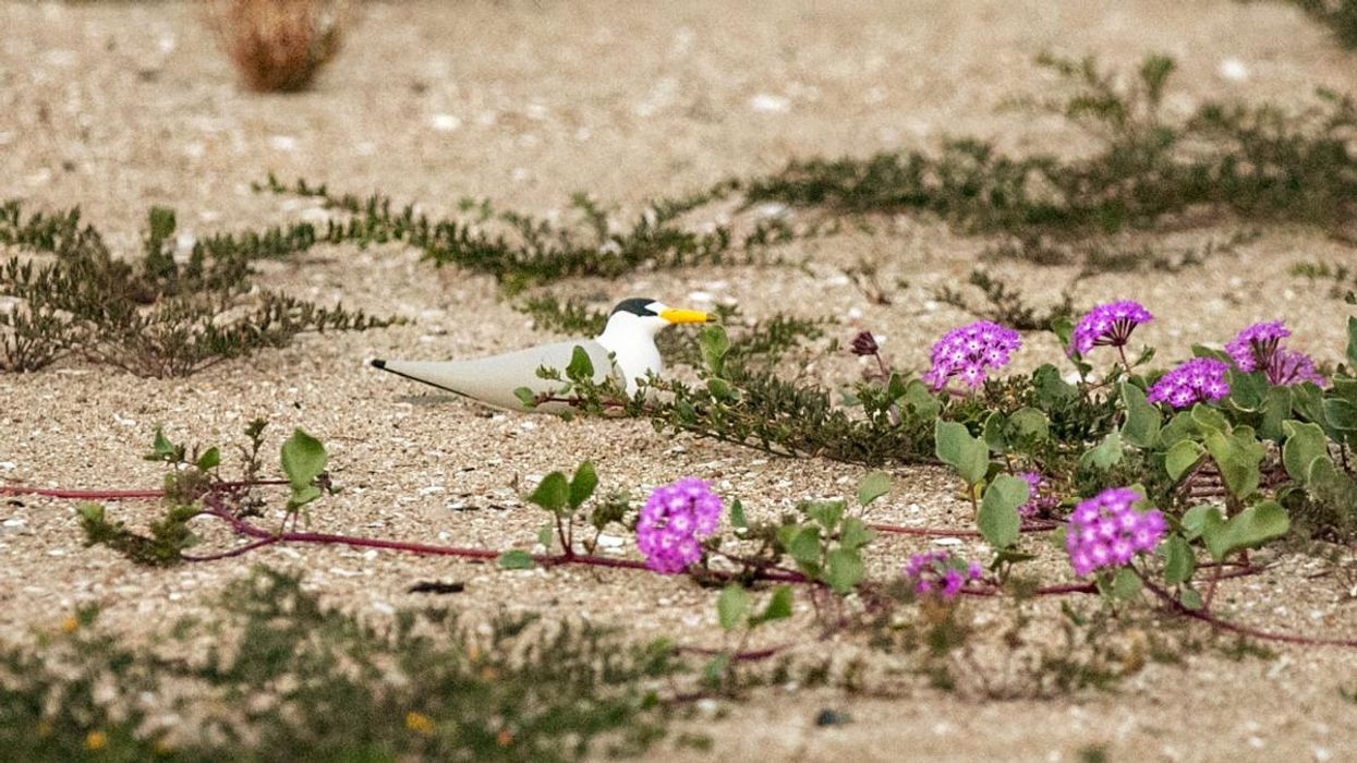 Illegal Drone in Wetlands Forces Adult Terns to Abandon 2,000 Eggs