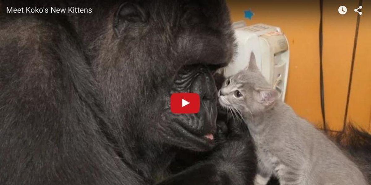 Why Koko the Gorilla Needs a New Social Media Team