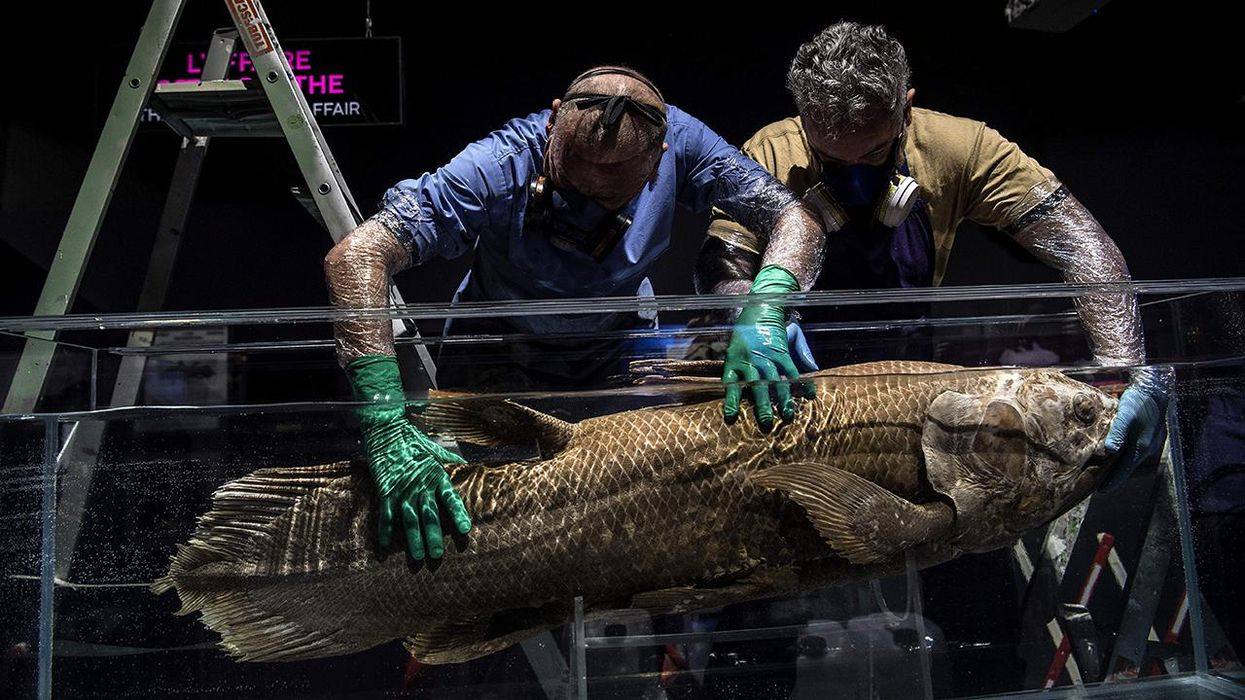 Taxidermists install a coelacanth