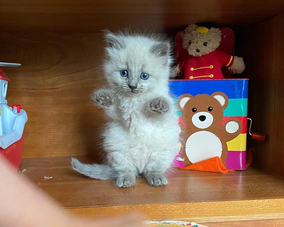 standing kitten, blue colorpoint cat