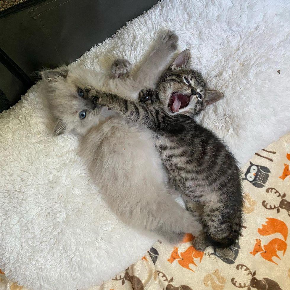 snuggly roaring kitten