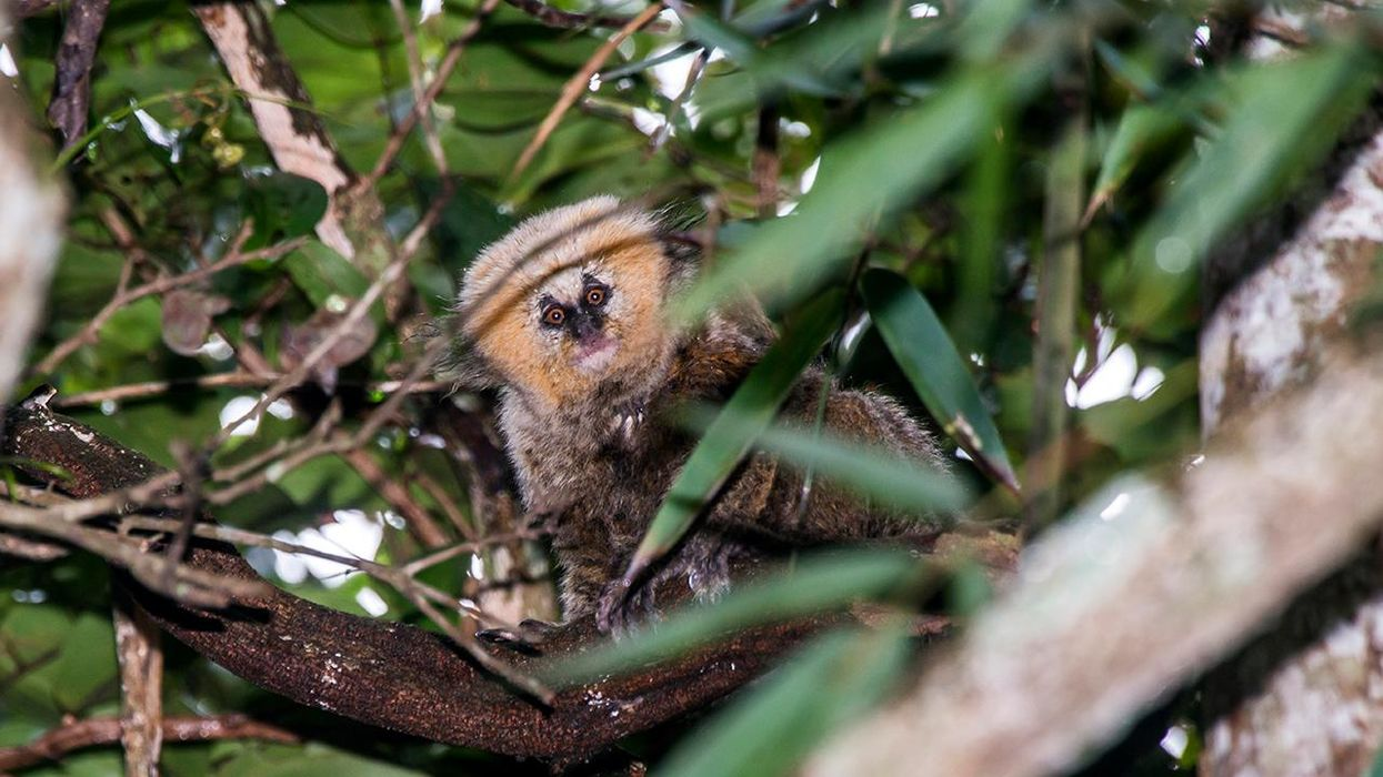 Species Spotlight: The Buffy-Headed Marmoset Is Menaced on Multiple Fronts