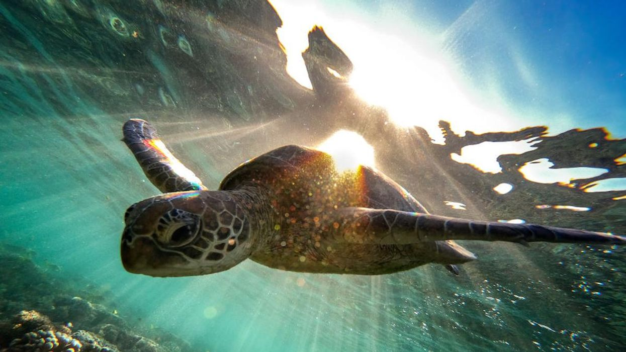A green sea turtle swims at the Great Barrier Reef, Australia.