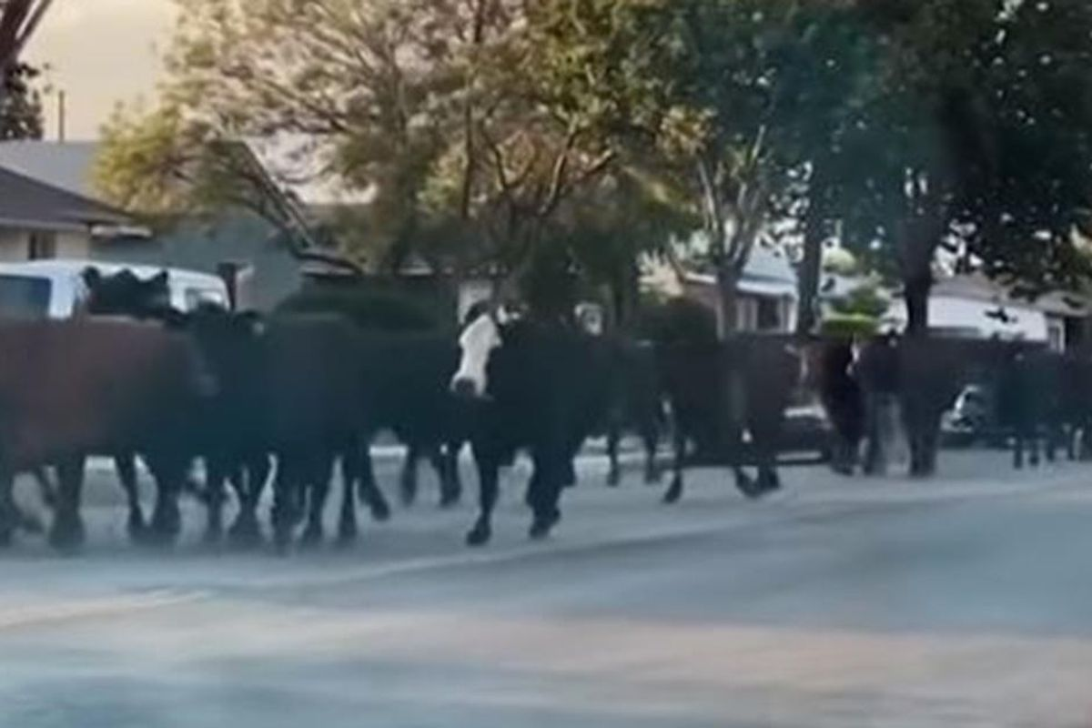 Video shows 40 cows that escaped captivity running free across a Southern California town